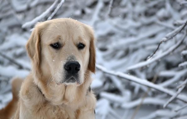 Картинка зима, лес, глаза, морда, снег, снежинки, природа, собака, голова, нос, пес, порода, ретривер