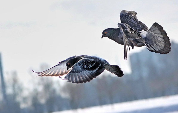 Картинка полет, птицы, город, пара, голуби, летят