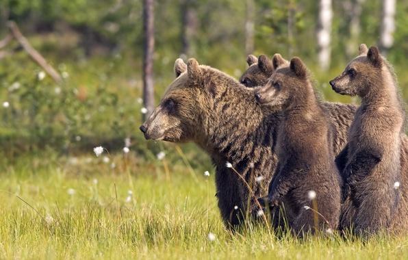 Картинка лес, животные, трава, деревья, природа, медведи, animals