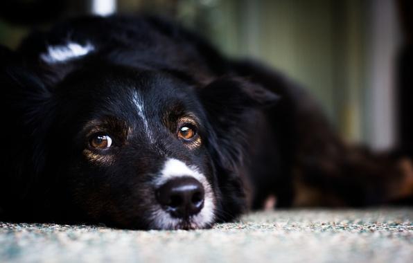 Картинка белый, взгляд, черный, собака, пес, лежит, white, black, смотрит, dog