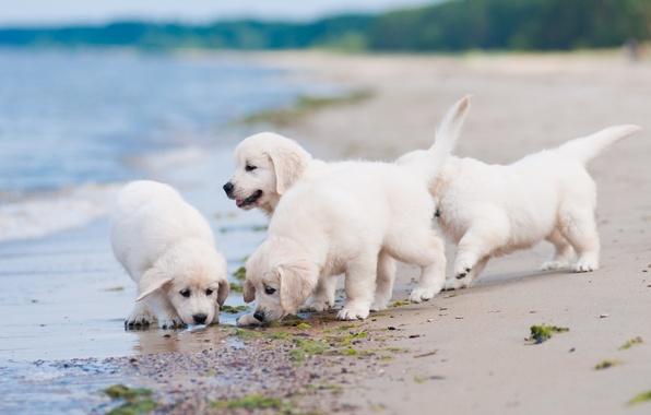 Картинка собаки, пляж, щенки, квартет