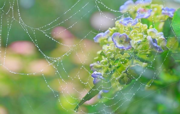 Картинка капли, макро, цветы, роса, паутина, гортензия