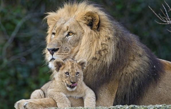 Картинка кошки, лев, львёнок, пара ©Tambako The Jaguar