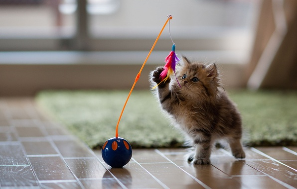 Картинка кошка, котенок, игрушка, игра, перья, Daisy, Ben Torode