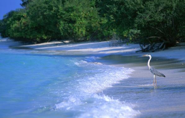 Картинка море, пляж, вода, пейзаж, птицы, природа, цапля