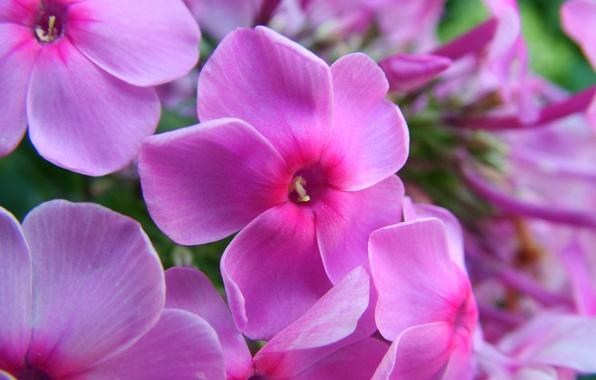 Картинка лето, макро, цветы, розовый, ярко, флоксы