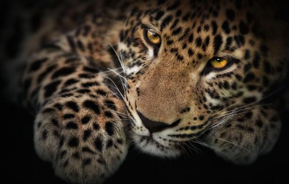 Картинка усы, взгляд, обои, Леопард, лапа, фотошоп, мордочка, котёнок, пятнистый, Panthera pardus
