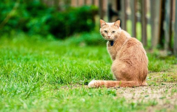 Картинка кошка, трава, забор, спина, двор, хвост, боке, прямой взгляд