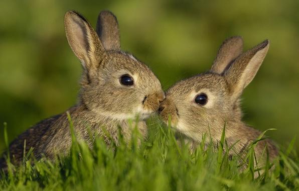 Картинка животные, лето, трава, зайцы