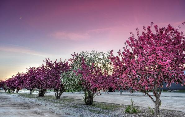 Картинка дорога, небо, деревья, вечер, аллея, цветение