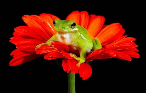 Картинка цветок, природа, лягушка
