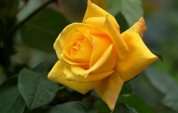Картинка роза, лепестки, бутон, жёлтая роза