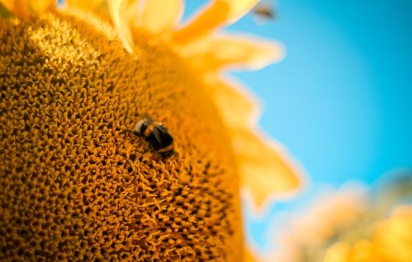Картинка цветок, макро, пчела, Подсолнух, шмель