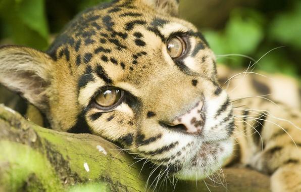 Картинка усы, взгляд, морда, отдых, лежит, дымчатый леопард