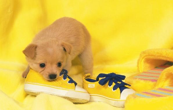 Картинка обувь, собака, щенок, puppy, dog, shoes