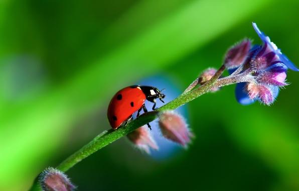 Картинка цветок, природа, растение, божья коровка, жук, стебель, насекомое