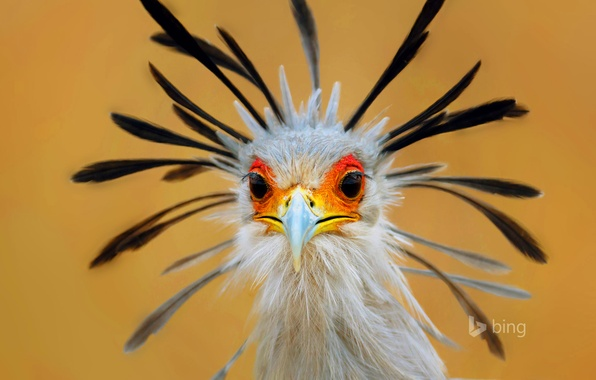 Картинка глаза, птица, перья, клюв, секретарь, юар