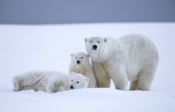Картинка зима, снег, медведи, Аляска, медвежата, белые медведи, медведица, детёныши