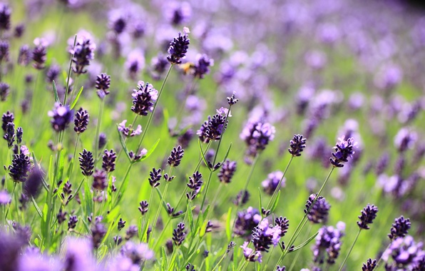 Картинка поле, макро, цветы, поляна, размытость, фиолетовые, лаванда, сиреневые, Lavender