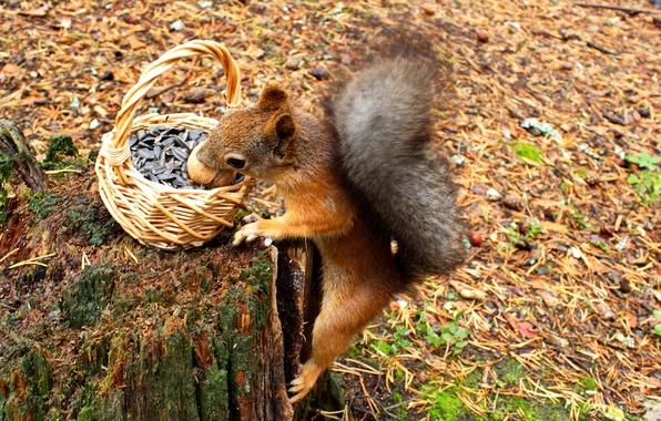 Картинка осень, животные, природа, корзина, пень, орех, белка, хвоя, семечки, грызун