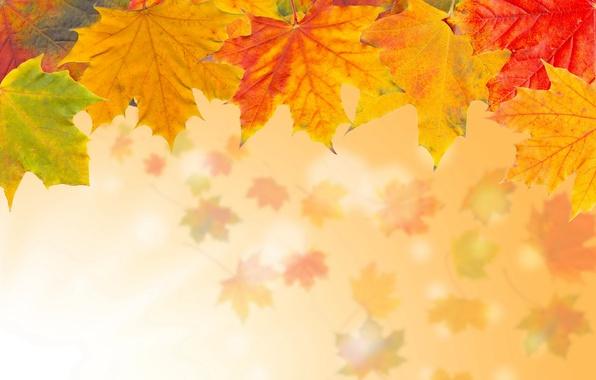 Картинка осень, листья, желтые, кленовые