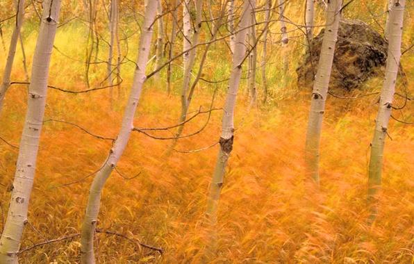 Картинка осень, лес, пейзаж, обои, березы, роща, ковыль
