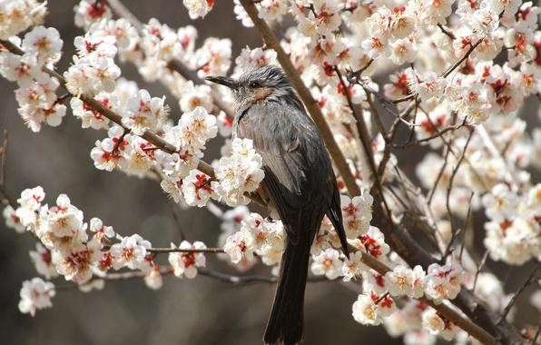 Картинка цветы, ветки, вишня, птица, весна, лепестки, сакура, цветение