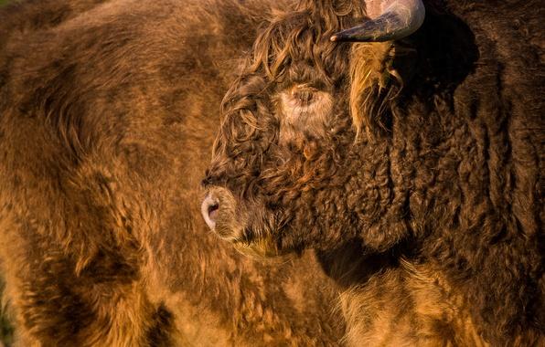 Картинка морда, мощь, мех, бизон