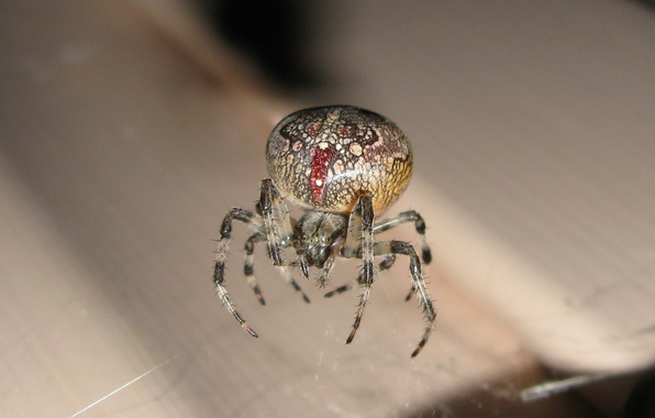 Картинка насекомые, природа, паук
