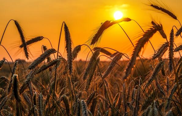 Картинка поле, небо, солнце, закат, урожай, колосья