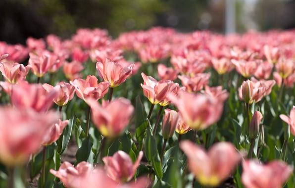 Картинка зелень, листья, цветы, природа, краски, нежность, весна, размытость, тюльпаны, розовые