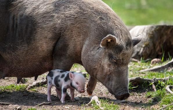 Картинка природа, фон, свинья