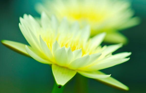 Картинка цветок, макро, цветы, желтый, зеленый, фон, розовый, widescreen, обои, лепестки, wallpaper, flower, широкоформатные, background, macro, …