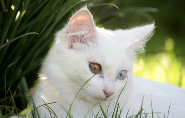 Картинка кошка, котенок, белая, разные глаза
