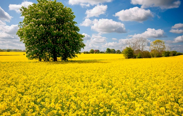 Картинка поле, небо, облака, цветы, дерево, луг, каштан