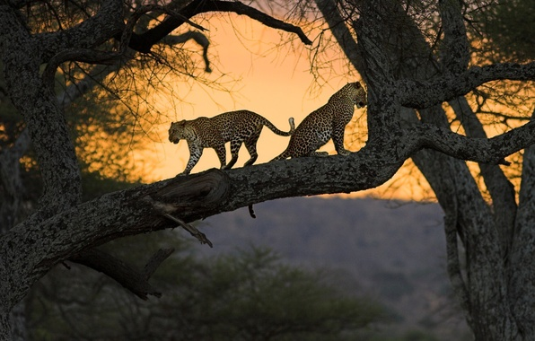 Картинка кошки, природа, дерево, африка, кения