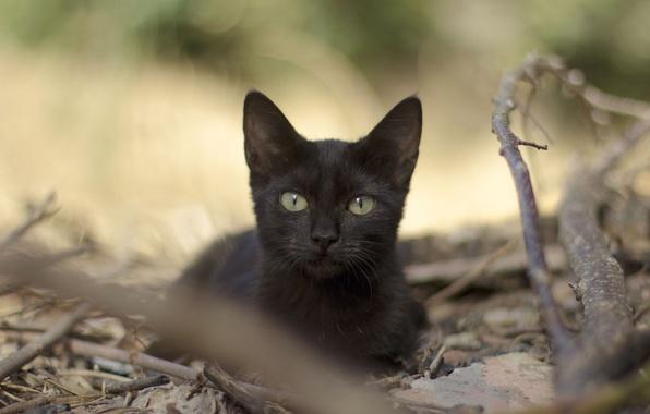 Картинка кошка, взгляд, листья, ветки, черная