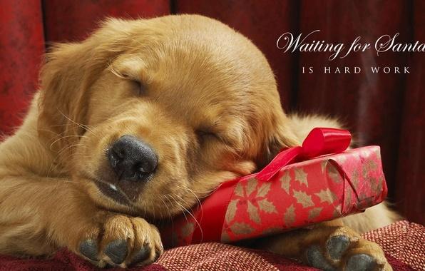 Картинка праздник, подарок, новый год, собака