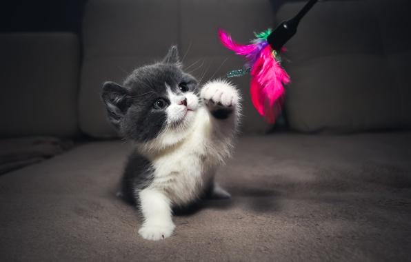 Картинка голубой, фокус, Котенок, играет, kitten, момент, британский, биколор, cattery, Embery
