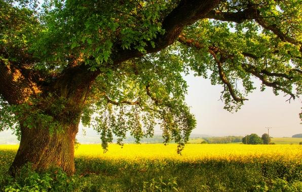 Картинка поле, лето, природа, дерево, дуб