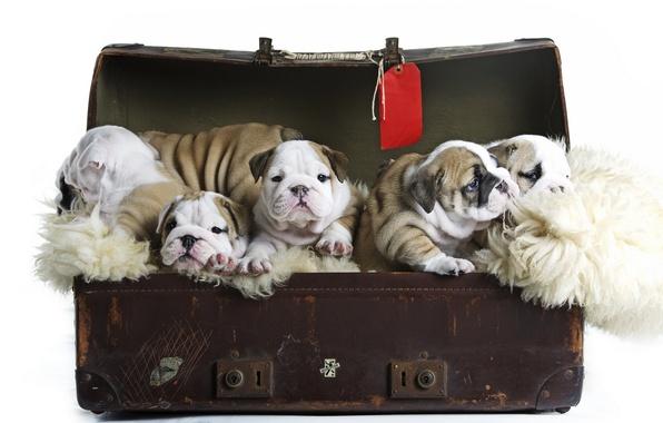 Картинка собаки, щенки, чемодан, малыши, Английский бульдог