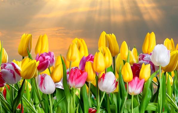 Картинка облака, лучи, коллаж, лепестки, тюльпаны