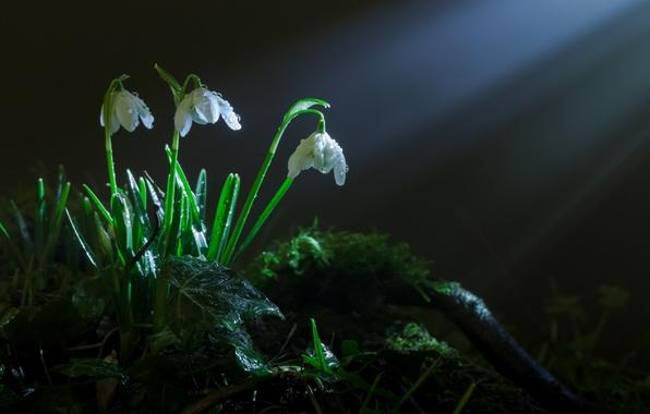 Картинка трава, лучи, свет, цветы, мох, весна, подснежники