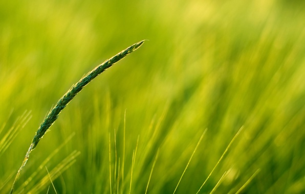 Картинка зелень, поле, колос