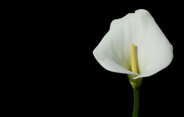 Картинка цветок, темный фон, калла