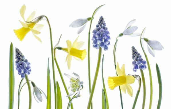Картинка макро, краски, весна, лепестки, стебель, подснежник, нарцисс, мышиный гиацинт