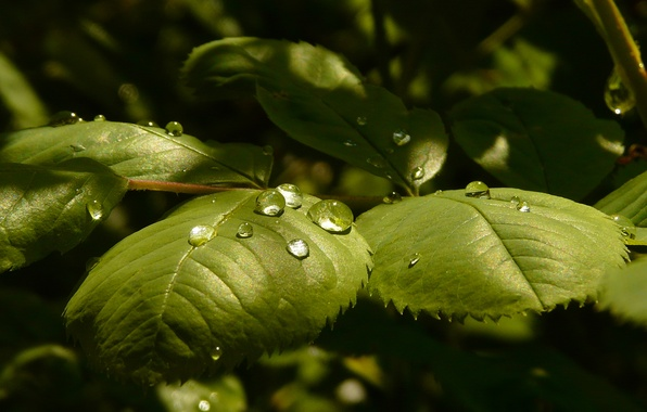 ... фото роса, роза, листья, капли, свет: goodfon.ru/wallpaper/rosa-roza-listya-kapli-svet.html