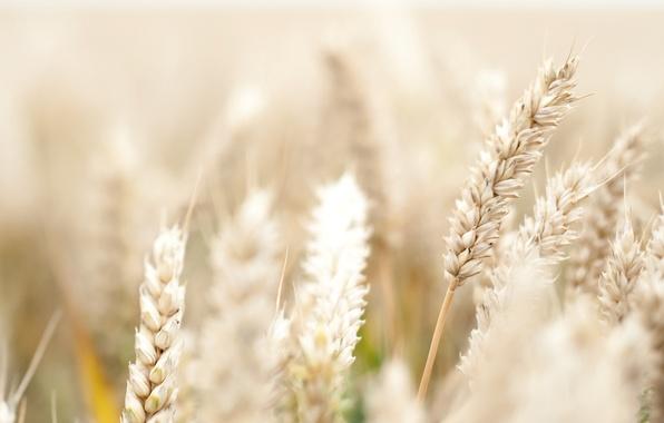 Колосок пшеница фото