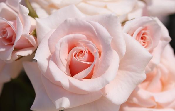 Фото обои нежность, макро, розы