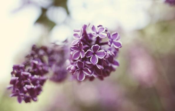 Картинка цветы, лепестки, сирень